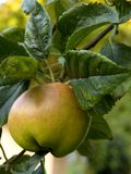 Apple on appletree. In autum stock images
