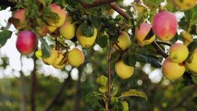 Apple arbeiten an einem sonnigen Tag im Garten stock video footage