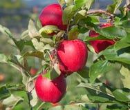Apple arbeiten im Garten Stockbild