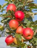 Apple arbeiten im Garten Lizenzfreie Stockfotos