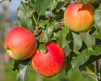 Apple arbeiten im Garten Lizenzfreies Stockbild