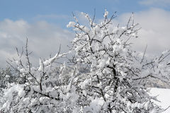 Apple-arbre dans la neige Photo stock