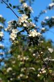Apple-arbre de floraison de branche contre le ciel bleu Images libres de droits