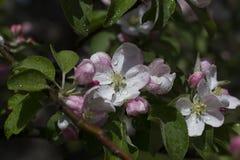 Apple-arbre en fleur Image libre de droits
