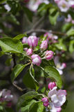 Apple-arbre en fleur Photographie stock libre de droits