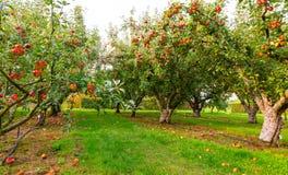 Apple auf Bäumen im Obstgarten Stockfotografie
