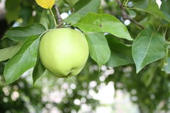 Apple auf Baum Stockfotografie
