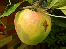 Apple auf Baum Stockbilder