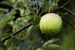 Apple auf Baum- und Tautröpfchen Lizenzfreie Stockbilder