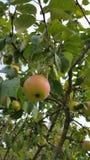 Apple auf dem Baum, der wartet ausgewählt zu werden Stockbild