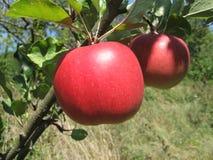 Apple auf dem Zweig Stockfotografie