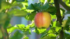 Apple auf dem Zweig stock video