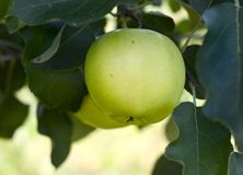 Apple auf einem Baum Lizenzfreie Stockfotografie