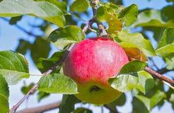 Apple auf einem Baum Lizenzfreie Stockfotos