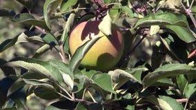 Apple auf einem Baum stock video