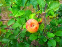Apple auf einem Baumast Lizenzfreies Stockfoto