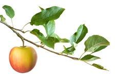 Apple auf einem Zweig Lizenzfreie Stockfotografie