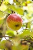Apple auf Niederlassung Stockbilder