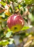 Apple auf Niederlassung Lizenzfreie Stockfotografie