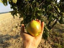Apple auf Palme Stockbild