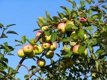Apple auf Zweig Stockbilder