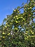 Apple auf Zweig Stockfotografie