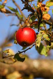 Apple from autumn. It was a warm november morning...in a small hungarian village Stock Photos