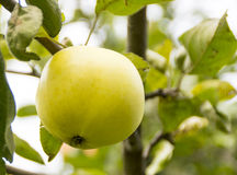 Apple in autumn Stock Photography