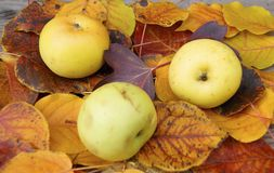 Apple on autumn sheet Royalty Free Stock Photos