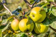 Apple bär frukt i ett träd Fotografering för Bildbyråer