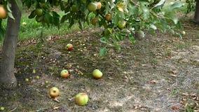 Apple bär frukt på en äng lager videofilmer
