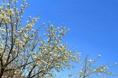 Apple-Bäume im Frühjahr Lizenzfreies Stockbild