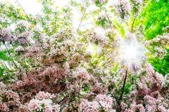 Apple balza moto della sfuocatura del giorno soleggiato dei fiori Fotografia Stock Libera da Diritti
