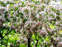 Apple balza moto della sfuocatura del giorno soleggiato dei fiori Fotografia Stock