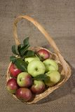 Apple basket. Small basket of fresh apples two varieties Royalty Free Stock Image