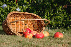 Apple in the basket Stock Image