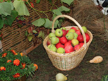 Apple in basket Royalty Free Stock Images