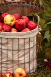 Apple Basket. Apples in a wire basket for autumn showcase Royalty Free Stock Photography