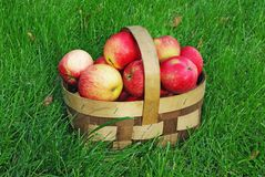 Apple basket on grass. Small wooden basket of freshly picked apples on lawn Royalty Free Stock Image