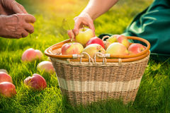 Apple basket and senior hands. Royalty Free Stock Image