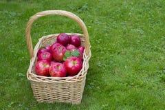 Apple Basket. Wicker basket full of red ripe Honeycrisp apples Stock Image