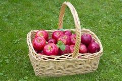 Apple Basket. Wicker basket full of red ripe Honeycrisp apples Royalty Free Stock Photo