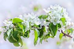 Apple-Baum blüht auf Pastellhintergrund des Frühlingsgartens Stockfotografie