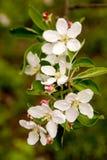 Apple-Baum Blumen Stockfoto