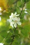 Apple-Baum Blumen Lizenzfreie Stockfotografie