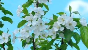 Apple-Baum in der Blüte stock footage