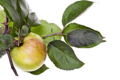 Apple-Baumast mit grünen Blättern Stockbilder