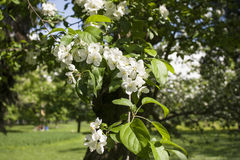 Apple-Baumastblüte stockfotos