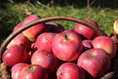 Apple. Beautiful Apple great natural nature Royalty Free Stock Photos