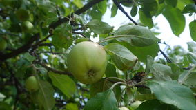 Apple. Beautiful pictures taken in Ukraine royalty free stock photo